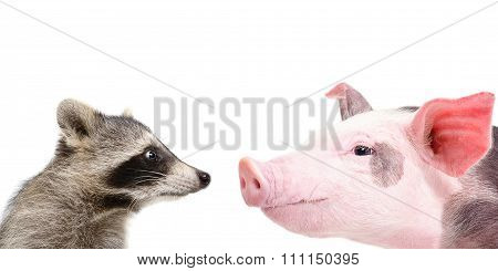 Portrait of a funny raccoon and pig sniffing each other
