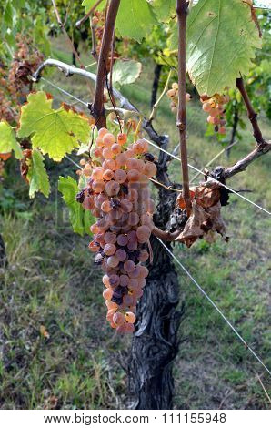 Bunch Of White Grapes Still On The Vineyard