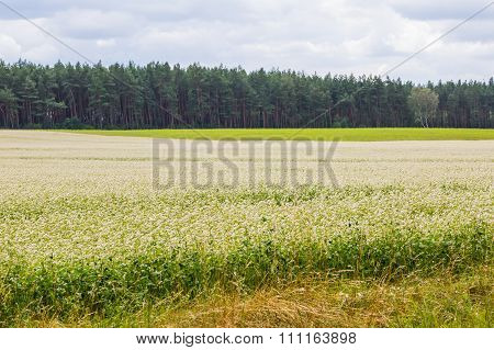 Blooming Buckwheat Field