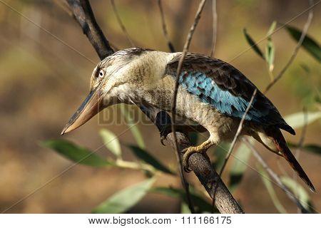 Kingfisher, Australia