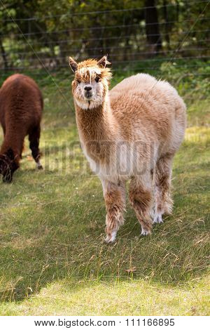 Alpaca On Farm