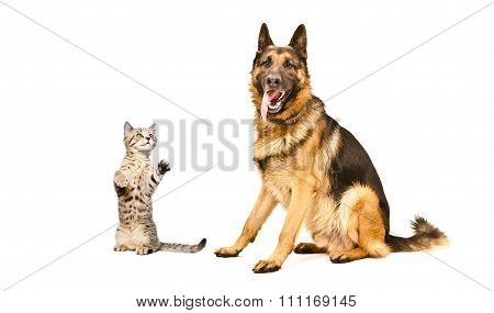 German Shepherd dog and frisky kitten Scottish Straight