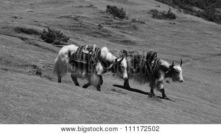 Two Yaks Walking Down Towards Namche Bazaar