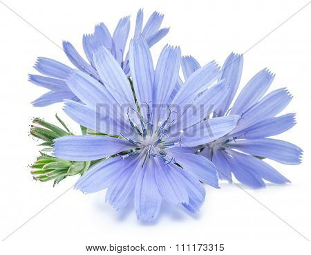 Cichorium intybus - common chicory flowers isolated on the white background.