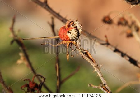 close photo of sear fruit of common medlar