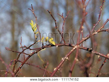 thorny twigs
