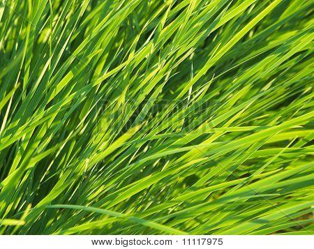 Green Grass 01