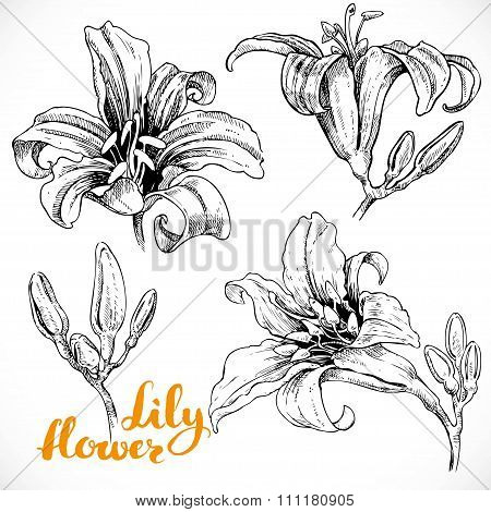 Drawing Lily Flowers And Buds Ink On White Paper Set