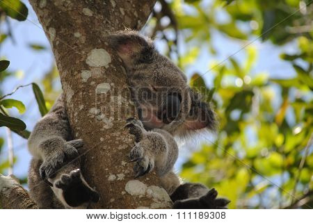 Koala sleeping in a gum tree