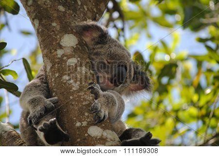 Koala sleeping in a gum tree