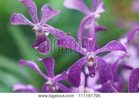 Aranda Kooi Choo Orchid