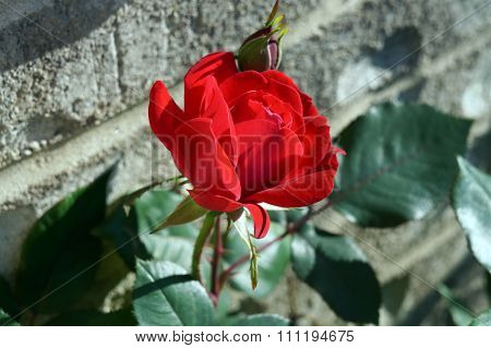 Red Rose in Front of a Brick Wall