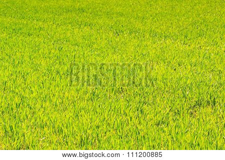 View Of Green Field Of Winter Wheat In Early Spring Closeup