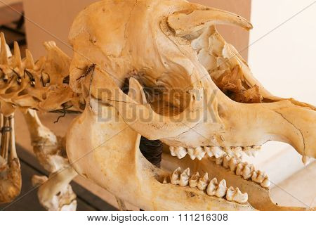 Skull Bone Of Tapir Animal