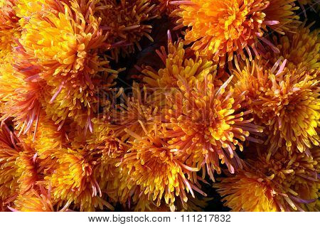 Close Up Of Orange Aster Flower