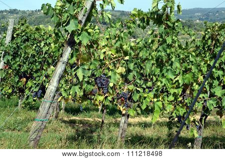 Red Wine Grape Hangs On The Grapevine