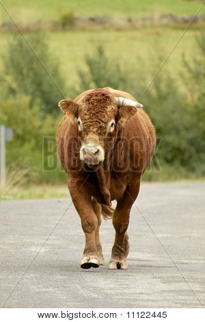 Brown Bull Walking Towards Us