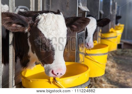 Young Cow In A Stable