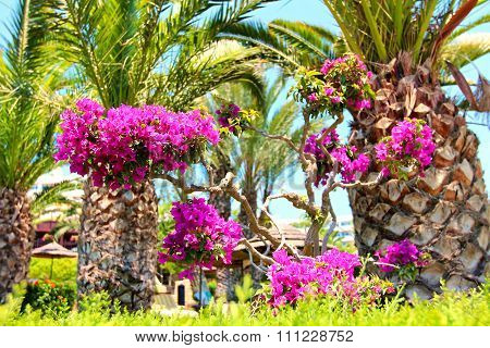 Palm Trees With Purple Bougainvillea Flowers In Front Of  Beach Umbrellas And Loungers