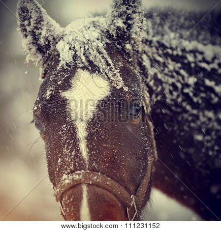 Muzzle Of A Wet Sad Brown Horse In Snow.