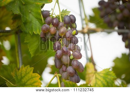 Grapes in the greenhouse, agriculture, hothouse , organic