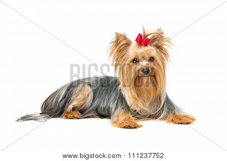 Beautiful yorkshire terrier lying