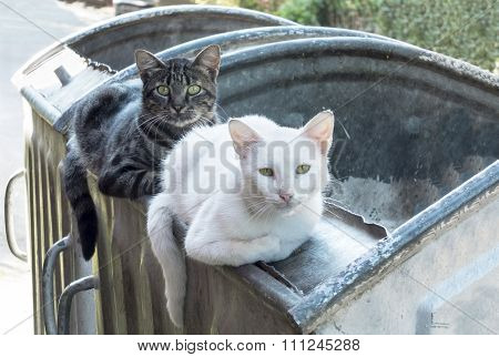 Two Homeless Cats Lying On The Garbage Container, Looking At The Camera