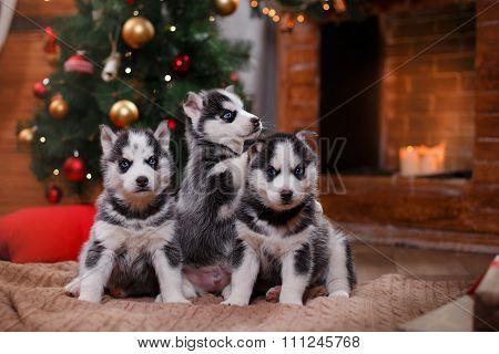 Dog Siberian Husky