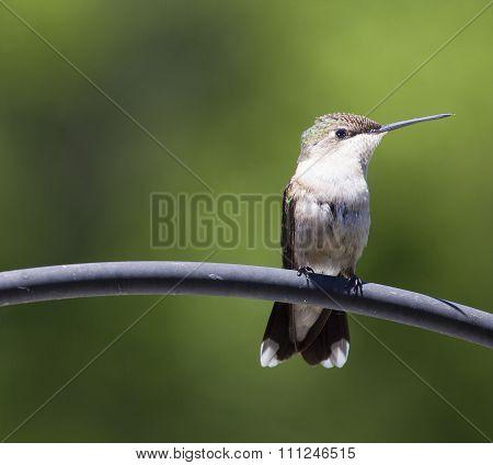 Alert Hummingbird