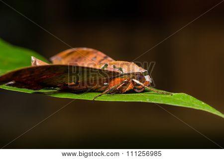 Cinnamon Gliding Hawkmoth On Green Leaf