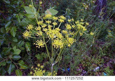 Wild Parsnip Flower