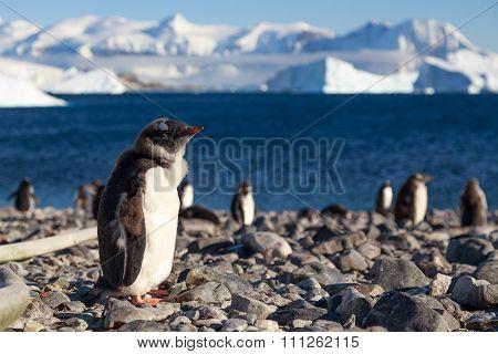 Walking Gentoos, Cuverville Island Gentoo Penguins