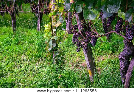 Grapes Ripening on Vine Branches