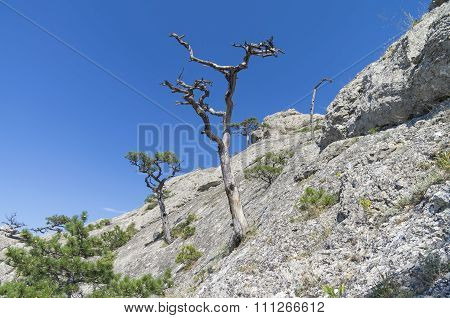 Dried Relic Pine Against The Blue Sky. Crimea.