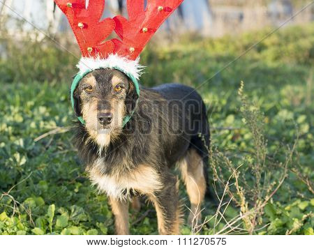 Cute Mix Breed Dog With Reindeer Horns