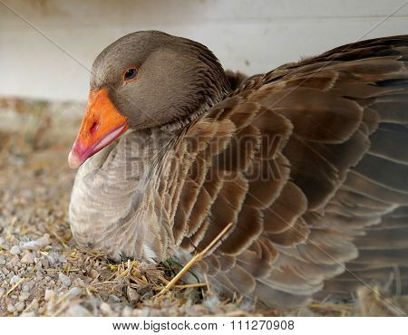 Gray Goose With Blue Eyes