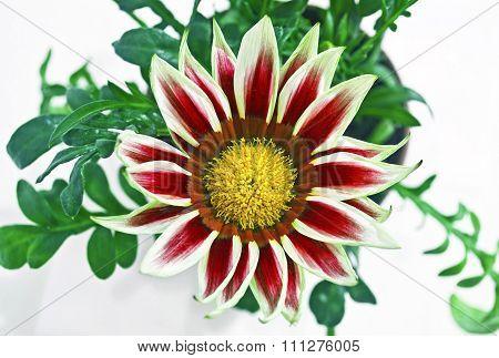 red gazania flower
