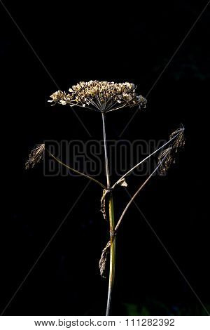 Dried Wild Parsnip Flower In Vertical Image