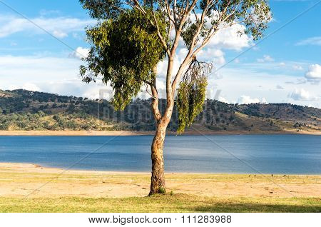 Eucalyptus on a lake
