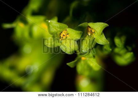 Spurge laurel (Daphne laureola) flowers close-up