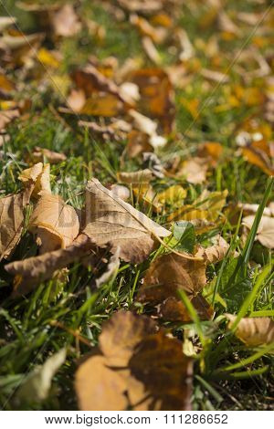 Dried Brown Autumn Leaves On Grass