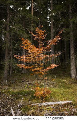 Young Colorful Deciduous Tree In Coniferous Forest