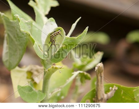 Butterfly Worm