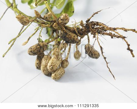 Groundnut Plants Showing The Roots And Groundnuts Attached