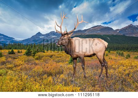 Wonderful antlered deer on the edge of pine forest. The lush colorful