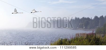 Seaside, flowers and misty wind, whooper swan in migration.