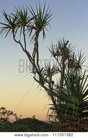 Pandanus Trees In The Sunset D