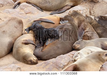 Small Sea Lion Baby In Cape Cross