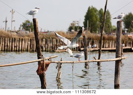Bird From Po River Lagoon