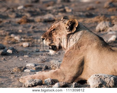 Lioness having a rest